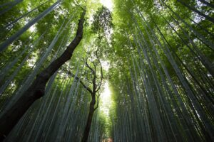 photo of a bamboo forest